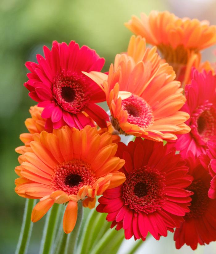 fiori per il giardino e la casa la gerbera coltivazione