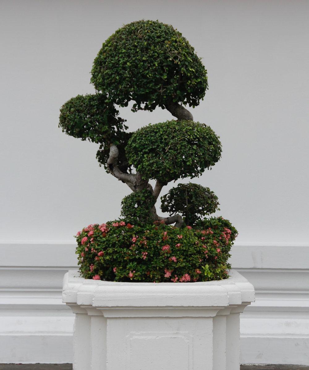 Piante da appartamento i bonsai coltivazione e cura - Cura dei bonsai in casa ...