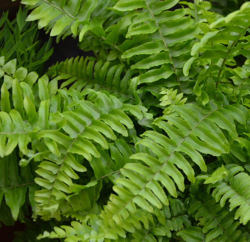 Piante da appartamento la felce coltivazione e cura - La felce pianta ...