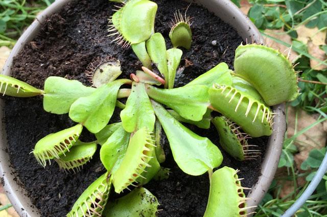 Le piante carnivore la dionea muscipola venus fly trap for Piante carnivore