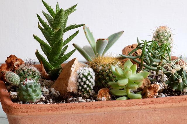 Le succulente introduzione alla cura in casa e in giardino for Piante grasse succulente